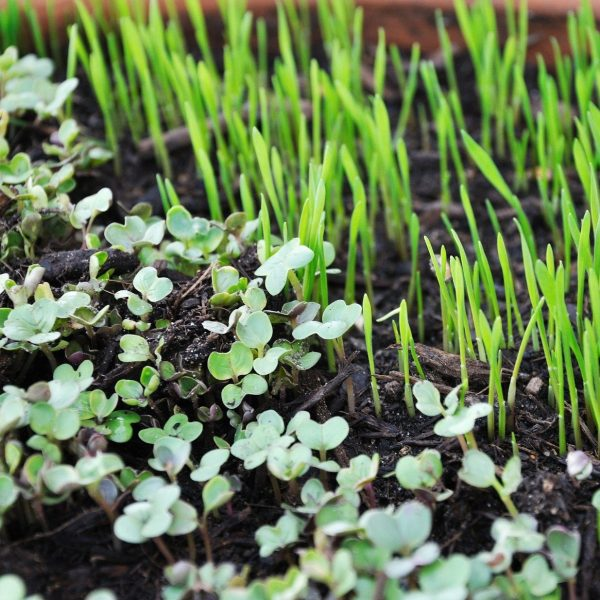 Learn All About Microgreen And Basic Hydroponic